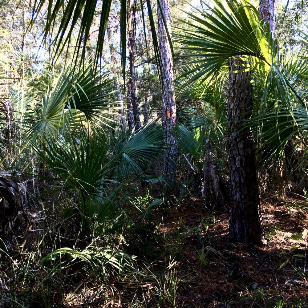Orange blaze on tree with palmetto plants underneath on Florida Trail near Shell Island Fish Camp