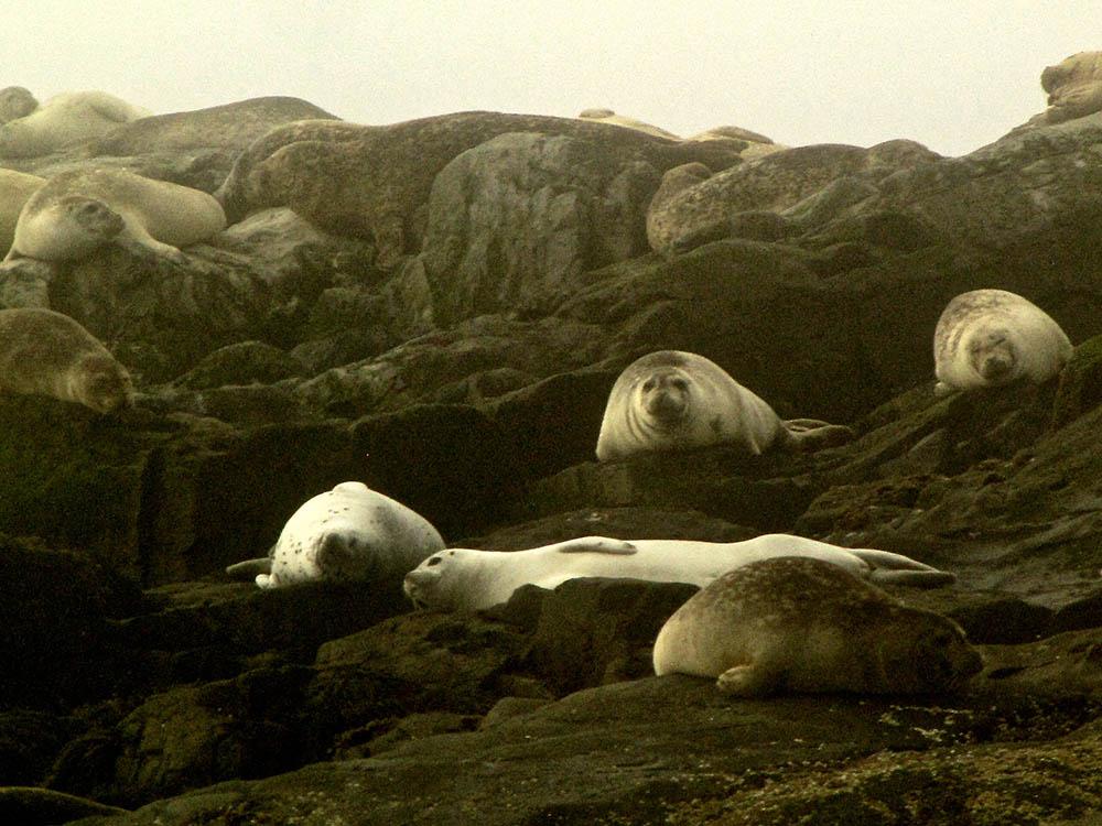 Machias-Seal-Island-Seals