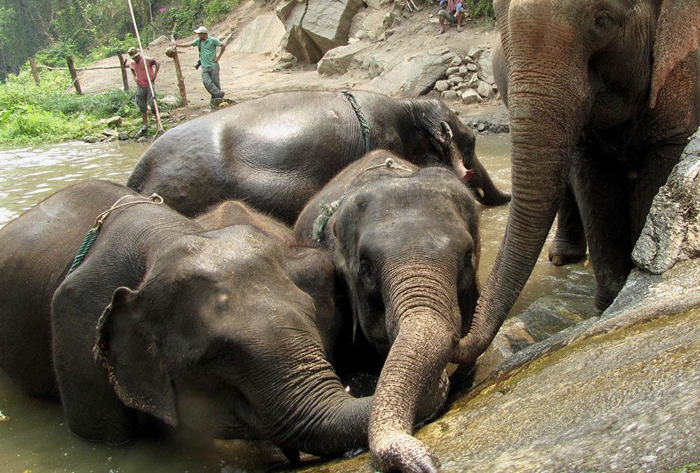 Thailand's Patara Elephant Farm Works to Boost Elephant Population
