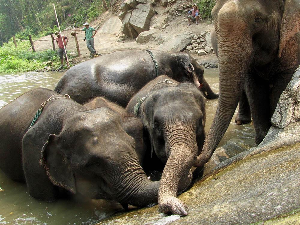 elephant-farm-laying