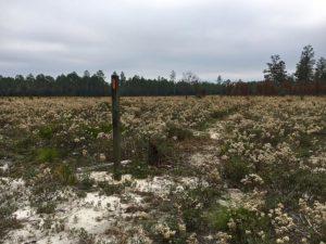 White, sandy hiking trail blazed orange running through open meadow near Florida Hwy. 331