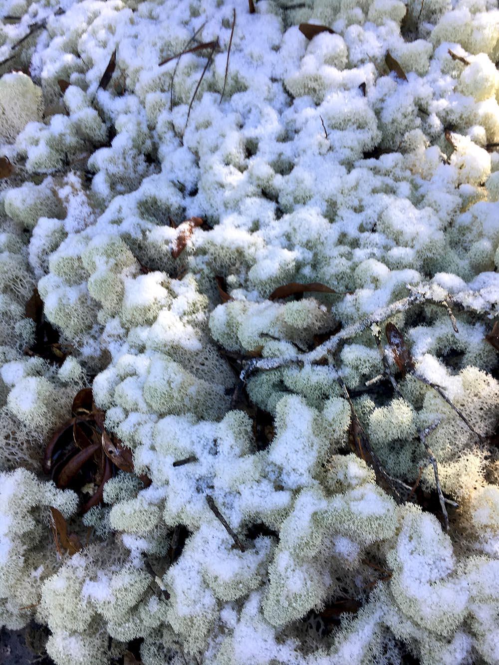 Snow covering reindeer moss.