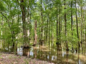 Cypress swamp on Natchez Trace near Kosciusko.