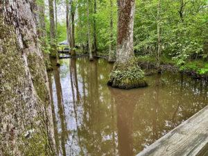 Cypress swamp on the Natchez Trace.